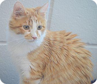 Domestic Mediumhair Cat for adoption in San Leon, Texas - Mindy