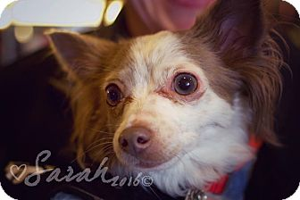 Chihuahua Mix Dog for adoption in Streamwood, Illinois - Queenie