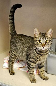 Domestic Shorthair Cat for adoption in Hollywood, Maryland - Marky Mark