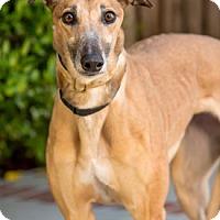 Adopt A Pet :: Toss - Walnut Creek, CA