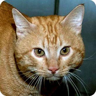 Domestic Shorthair Cat for adoption in Prescott, Arizona - Jason