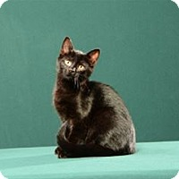 Adopt A Pet :: Georgette (Kitten) - Cary, NC