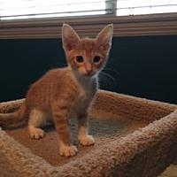 Adopt A Pet :: Tiger - Bonsall, CA