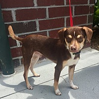 Miniature Pinscher Mix Dog for adoption in Mount Pleasant, South Carolina - Conan