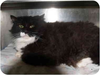 Domestic Mediumhair Cat for adoption in El Cajon, California - Ross