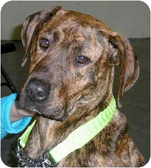 Mastiff/Greyhound Mix Dog for adoption in Troy, Michigan - Peanut