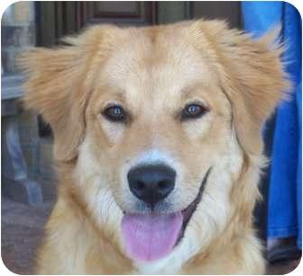 Golden Retriever/Border Collie Mix Dog for adoption in Huntsville, Alabama - Phoenix