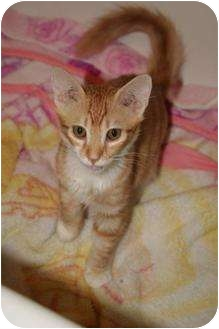 Domestic Shorthair Kitten for adoption in Scottsdale, Arizona - ronnie