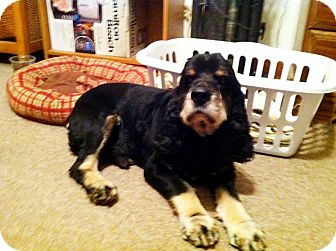 Cocker Spaniel Mix Dog for adoption in Mentor, Ohio - Rocky 5yr Adopted