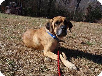 English Mastiff Dog for adoption in Asheboro, North Carolina - Turk (TN)