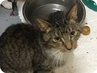 Domestic Mediumhair Cat for adoption in Schererville, Indiana - Jingles
