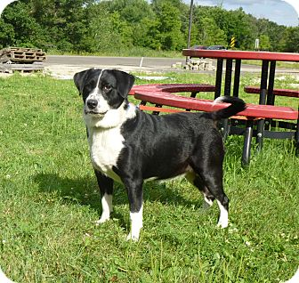 Border Collie/Labrador Retriever Mix Dog for adoption in Austin, Minnesota - Hica