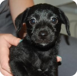 Jack Russell Terrier/Poodle (Miniature) Mix Puppy for adoption in Bradenton, Florida - Molly