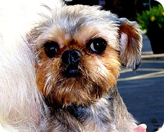 Brussels Griffon Dog for adoption in Seymour, Missouri - BREANNA - ADOPTION PENDING