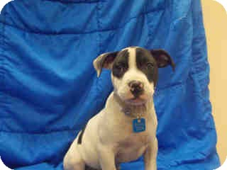 American Pit Bull Terrier Mix Puppy for adoption in Antioch, Illinois - Levi ADOPTED!!