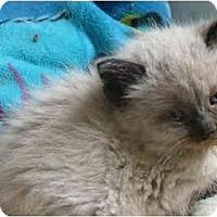 Adopt A Pet :: Muffie - Dallas, TX