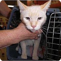 Adopt A Pet :: Sweet Pea - Warren, MI