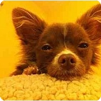 Adopt A Pet :: Pip - Concord, CA