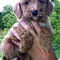 Adopt A Pet :: Courtesy (Poddles) - Northumberland, ON