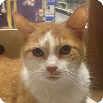 Domestic Shorthair Cat for adoption in Weatherford, Texas - Lee