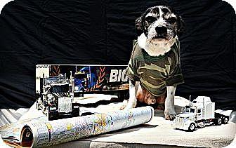 Boston Terrier/Maltese Mix Dog for adoption in Harrodsburg, Kentucky - Lit Lin
