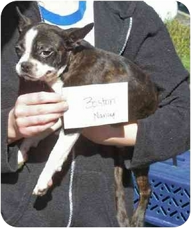 Boston Terrier Puppy for adoption in Wauseon, Ohio - Willy