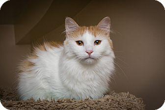 Maine Coon Cat for adoption in Chicago, Illinois - Lion