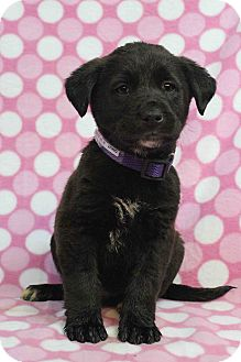 Shepherd (Unknown Type) Mix Puppy for adoption in Westminster, Colorado - Oakley