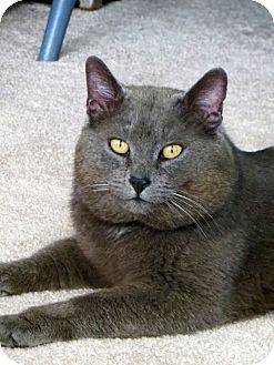 Domestic Shorthair Cat for adoption in Carlisle, Pennsylvania - Charles (CP)