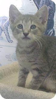 Domestic Shorthair Kitten for adoption in Grasonville, Maryland - Gray-lilac tabby