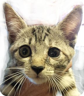 Domestic Shorthair Kitten for adoption in Seneca, South Carolina - Chloe