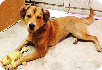 Golden Retriever/German Shepherd Dog Mix Dog for adoption in Vancouver, British Columbia - Carla