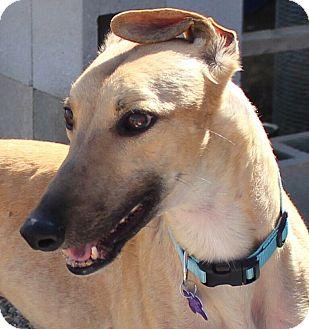 Greyhound Dog for adoption in Tucson, Arizona - Martini