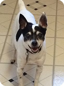 Rat Terrier Mix Dog for adoption in Mentor, Ohio - Ozzy