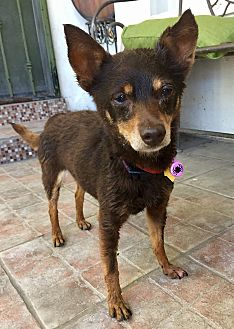 Miniature Pinscher Mix Dog for adoption in Santa Ana, California - Penny