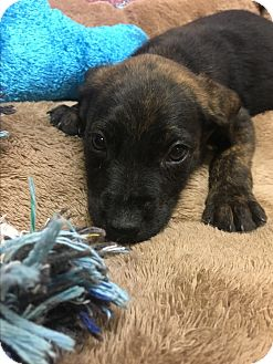 Labrador Retriever/Rottweiler Mix Puppy for adoption in Groton, Massachusetts - Pepper