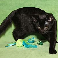 Domestic Shorthair Cat for adoption in Marietta, Ohio - Crystal (Updated Photos)