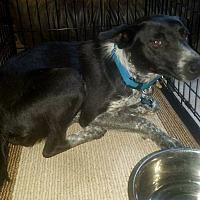Adopt A Pet :: Susie Q - Cleveland, OK