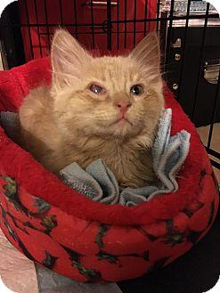Domestic Mediumhair Kitten for adoption in Waldorf, Maryland - Fluffy