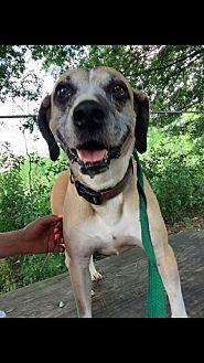 Hound (Unknown Type)/Labrador Retriever Mix Dog for adoption in Jackson, Mississippi - Sydney Gunner