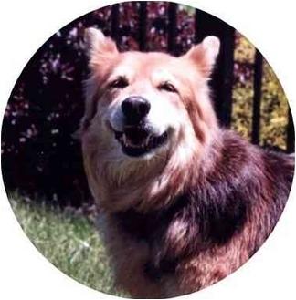 Collie/Corgi Mix Dog for adoption in Baldwin, New York - Marigold