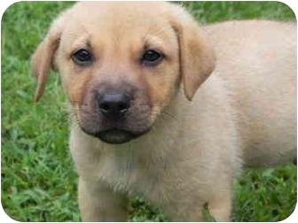 Boxer/Labrador Retriever Mix Puppy for adoption in Portland, Maine - Teddy