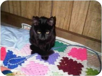 Domestic Shorthair Kitten for adoption in Medford, Massachusetts - Crab Rangoon