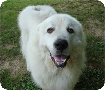 Great Pyrenees Dog for adoption in Bloomington, Illinois - Schyler