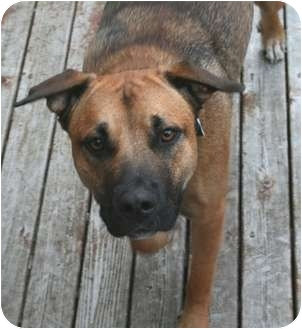 German Shepherd Dog Mix Dog for adoption in Seattle, Washington - Monty
