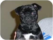 Pug Puppy for adoption in Eagle, Idaho - Gabby