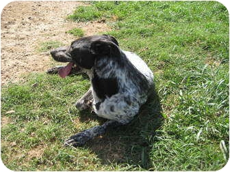 Australian Cattle Dog/Setter (Unknown Type) Mix Dog for adoption in Pilot Point, Texas - MOLLY