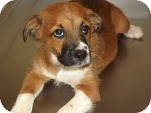 Shepherd (Unknown Type) Mix Puppy for adoption in Portland, Maine - Gizmo
