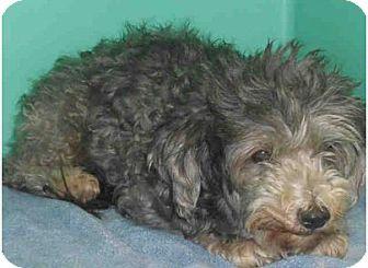 Miniature Poodle Mix Dog for adoption in Yuba City, California - Nikki