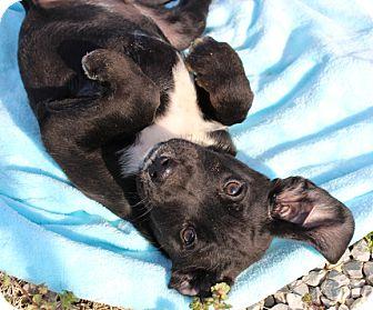 Coonhound/Australian Shepherd Mix Puppy for adoption in Foster, Rhode Island - Grits